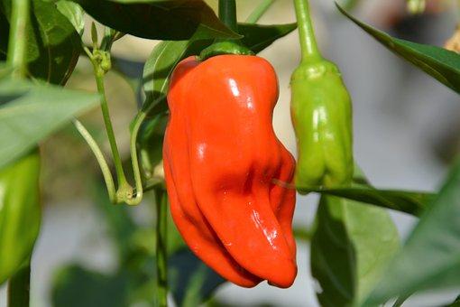 Chili, Hot Pepper, Nature
