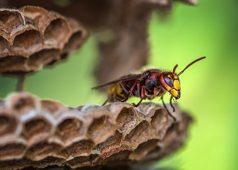 Hornets, Hornet, Hornets Queen, Insect, Close, Nature