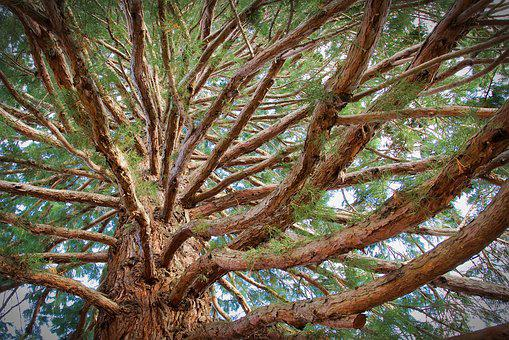 Tree, Wood, Nature, Conifer, Aesthetic, Branches, Brown