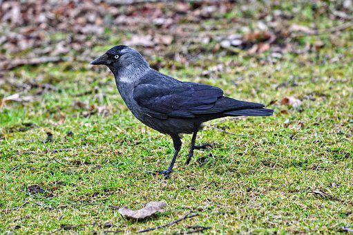 Jackdaw, Bird, Corvus Animal, Fauna, Coloeus Monedula