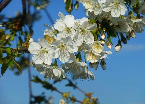 Flower, Tree, Plant, Nature, Petal, Leaf, Floral, Bud