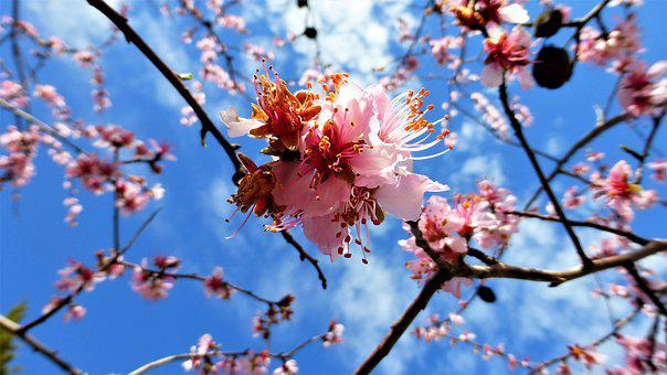 Nature, Branch, Tree, Almond Tree, Season, Flower