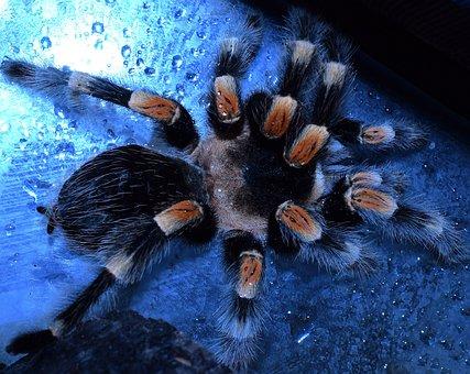 Bird Spider-legs, Spider Legs, Spider, Hairy, Redknee