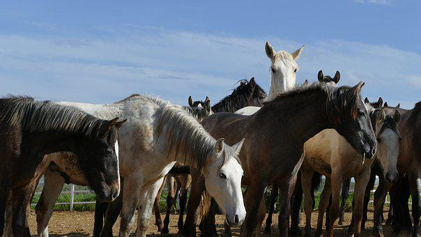 Horses, Horse Herd, Young Horse, Flock, Animal