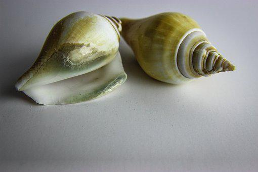 Shellfish, Shell, Snail, Invertebrate, Gastropod