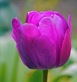 Tulip, La Violetta, Blossom, Bloom, Cup, Breeding