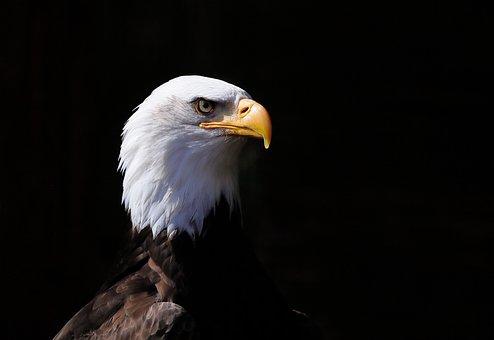 Bird, Bird Of Prey, Adler, Animal World, Majestic