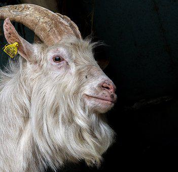 Mammal, Animal, Portrait, Nature, Fur, Goat, Head