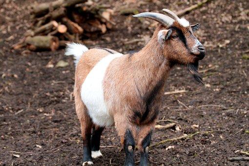 Mammal, Goat, Nature, Animal, Animal World, Animals