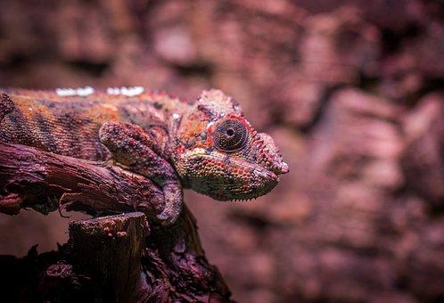 Chameleon, Exotarium, Nature