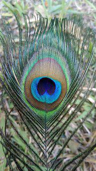 Bird, Feather, Peacock, Pattern, Nature, Color