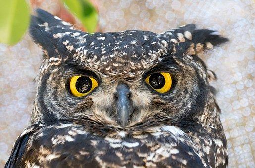 Spotted Eagle Owl, Owl, Bird, Nature, Beak, Animal