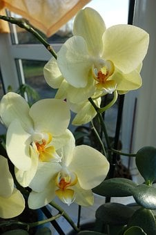 Flower, Tropical, Plant, Phalaenopsis, Flowers, Orchid