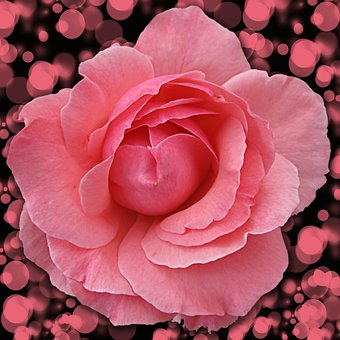 Flower, Rosa, Petal, Flowering, Plant, Pink Rose, Bokeh