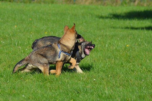 Shepherd Dogs, Puppies, Play, Grass, Animal, Mammal