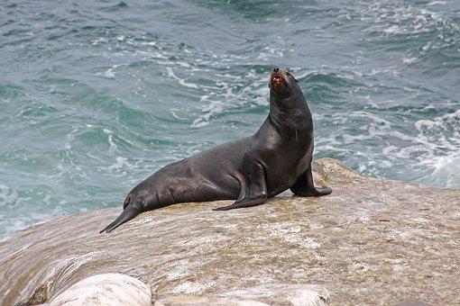 Sea, Ocean, Seal, Waters, Nature, Beach, Coast
