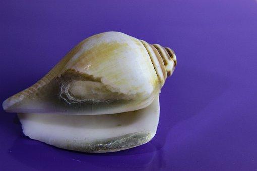 Shellfish, Shell, Invertebrate, Snail, Gastropod, Sea