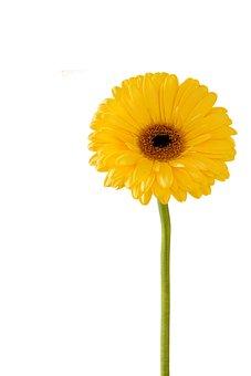 Gerbera Flower, Nature, Flora, Summer, Flower, Disjunct