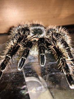 Tarantula, Spider, Macro, Hairy, Terrarium, Animal