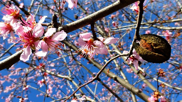 Nature, Tree, Flower, Branch, Almond Tree, Season, Bud
