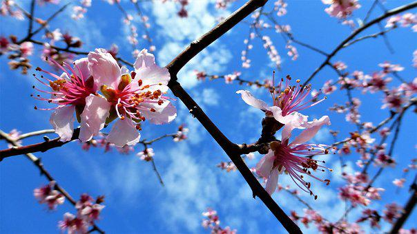 Nature, Flower, Branch, Almond Tree, Tree, Flowering