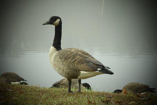 Bird, Nature, Water, Lake, Wildlife, Goose