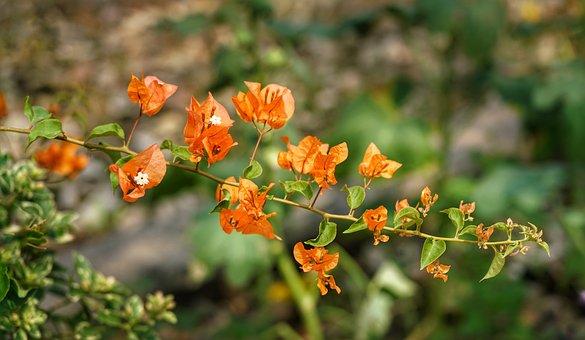 Bougainvillea, Flower, Orange, White, Shrub, Tree