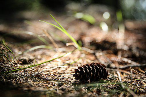 Nature, Wood, Outdoors, Little, Pine Cone, Grass