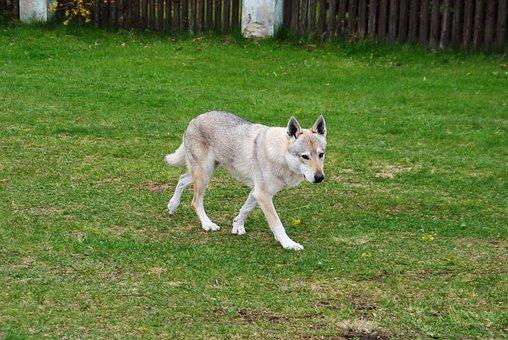 Dog, Wolf, Czechoslovak Vlčiak, Slovakia, Animal, Bitch