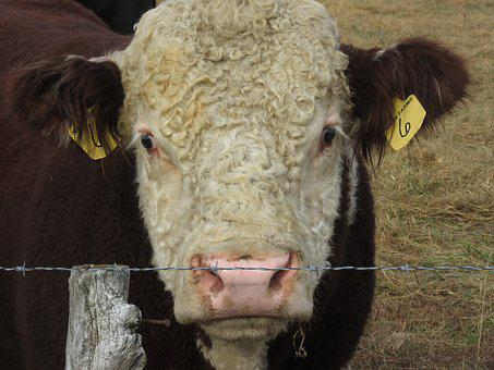 Livestock, Cattle, Agriculture, Cow, Mammal