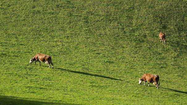 Grass, Animal, Mammal, Meadow, Agriculture, Cow, Cows