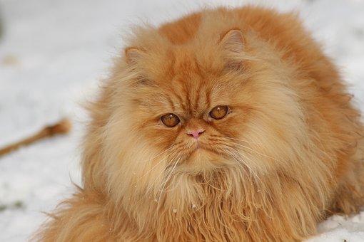 Animal, Cat, Cute, Portrait, Pet, Small, Fluffy, Fur