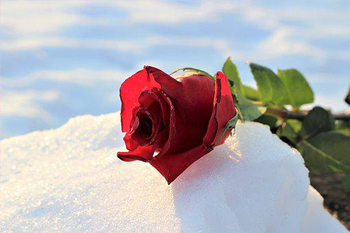 Frozen Red Rose In Snow, Love Symbol, Winter, Snowy