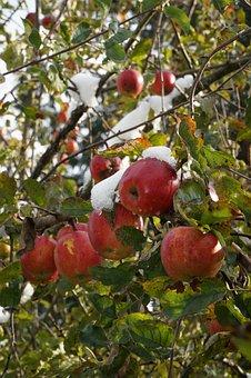 Fruit, Tree, Branch, Nature, Leaf, Snow, Melting, Apple