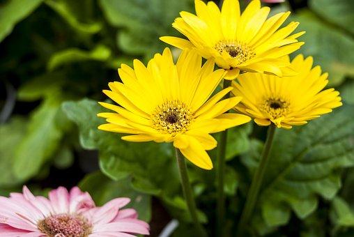 Gérbela Yellow, Nature, Plant, Flower, Summer