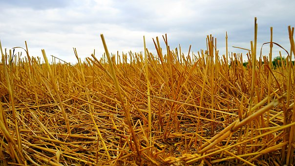 Gold, Nature, Dry, Food, Flora, Farm, Straw, Landscape