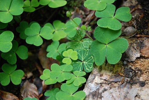 Klee, White Clover, Holy, Luck, Leaf, Plant, Season