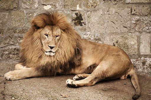 Mammal, Wildlife, Lion, Animal, Wild, Carnivore, Zoo
