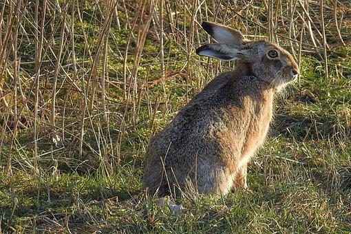 Hare, Long Eared, Animal World, Animal, Mammal, Nature
