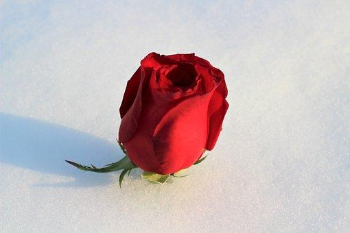 Red Rose In Snow, Love Symbol, Winter, Snowy, Romantic