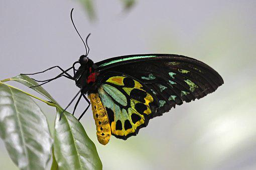 Cairns, Birdwing, Butterfly - Butterfly, Insect, Nature