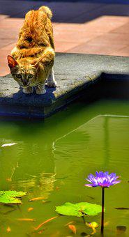 Cat, Watching, Fish, Pond, Catch, Nature, Water, Pool