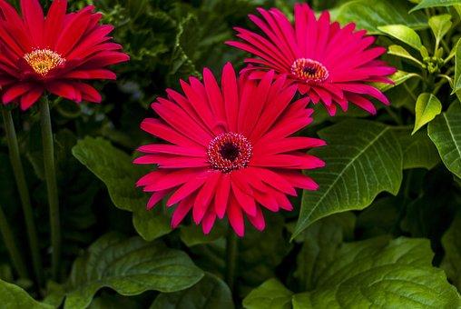 Gérbela Beautiful, Flower, Plant, Nature, Petal