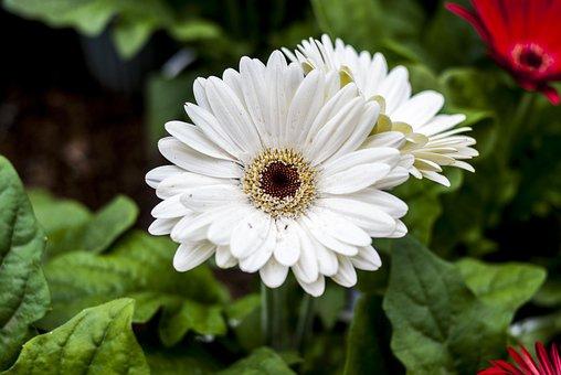 Gérbela White, Flower, Plant, Nature, Garden