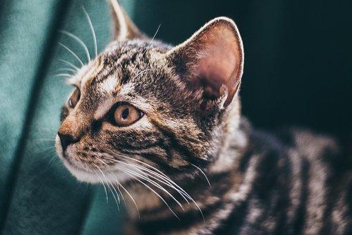 Cat, Domestic Cat, Tiger Cat, Pet, Mackerel