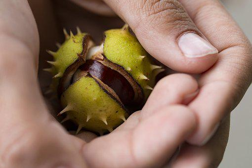 Chestnut, Autumn, Hands, Collect, Out, Close, Plant