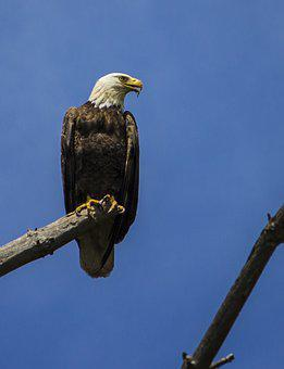 Eagle, Raptor, Bald Eagle, Bird, Majestic, Bald