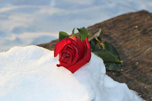 Frozen Red Rose On Bench, Love Symbol, Winter, Snowy