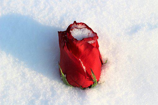 Red Rose Covered With Snow, Love Symbol, Winter, Snowy