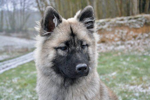 Dog, Bitch Nova, Young Dog Eurasier